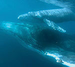 Underwater view of whale and calf